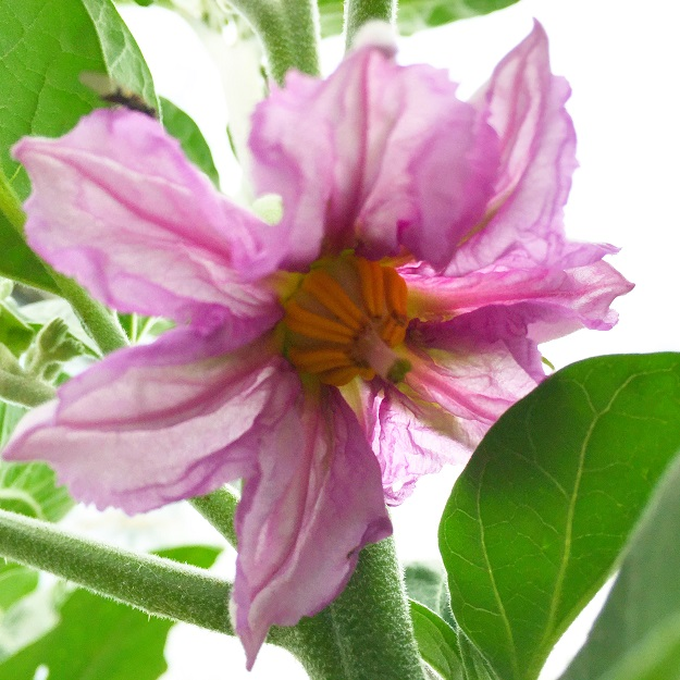 Auberginenblüte