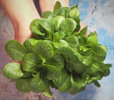 Feldsalat in den Händen